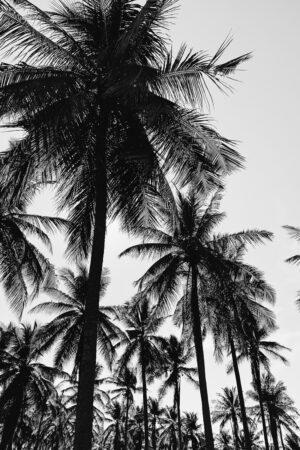 Mustvalged palmid
